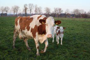 weiland koe kalf